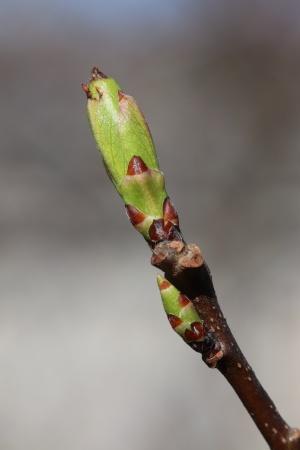 """Mespilus germanica /""""Kurpfalzmispel/"""" Veredlung essbare Mispel"""