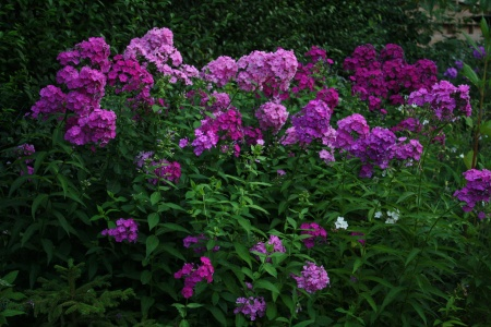 sommerphlox phlox paniculata pflanzenwiki. Black Bedroom Furniture Sets. Home Design Ideas