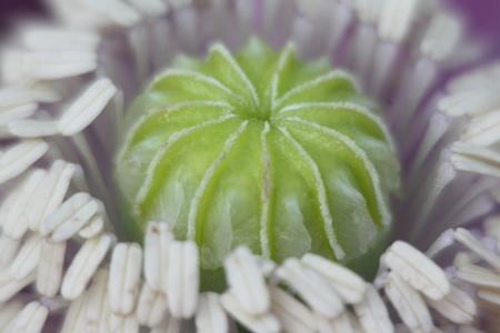 schlafmohn papaver somniferum pflanzenwiki. Black Bedroom Furniture Sets. Home Design Ideas